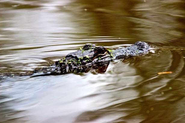 Honey Island Swamp Tour - Gators
