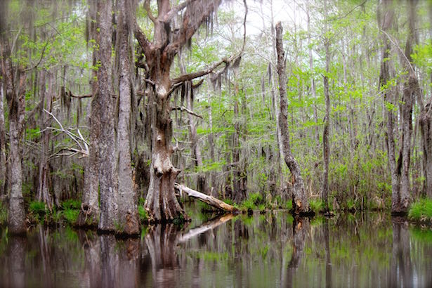 Honey Island Swamp Tour - Old Tree