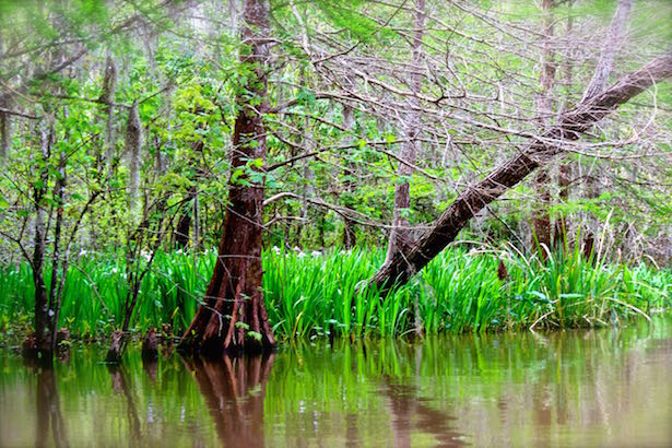 Honey Island Swamp Tour - Wild Azaleas