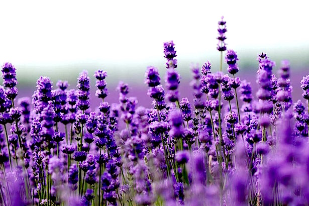 Blanco Lavender - Texas Hill Country